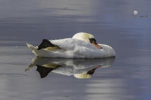 swan-2806319_1920